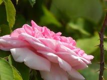 Stor rosblomma Royaltyfri Bild