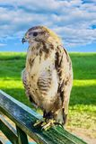 Stor rov- fågelörn i fångenskap Arkivfoto