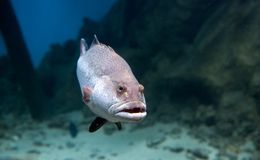 Stor rov- fisk Royaltyfri Fotografi