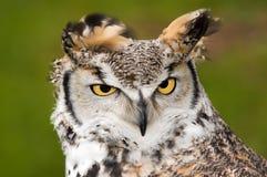 stor rubbning för horned owl Royaltyfria Bilder