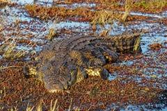 Stor sötvattens- krokodil, Chobe nationalpark, Botswana, Afrika fotografering för bildbyråer