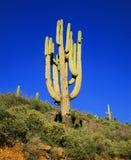 stor saguaro Arkivbild