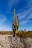 Stor Saguarokaktus i Arizona Arkivbilder