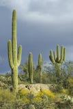 Stor saguarokaktus och vita pösiga oklarheter Royaltyfria Bilder