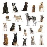 Stor samling av hundkapplöpning, i olik position royaltyfria foton