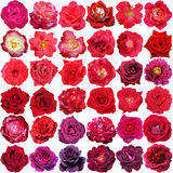 Stor samling av isolerade härliga röda och purpurfärgade rosor Royaltyfri Fotografi