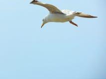 Stor Seagull i himlen blå sky Royaltyfri Fotografi