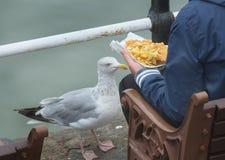 Stor Seagulltiggeri för mat Arkivbilder