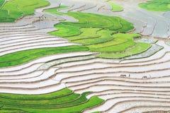 Stor sikt av risfälten för risen som planterar säsong Fotografering för Bildbyråer