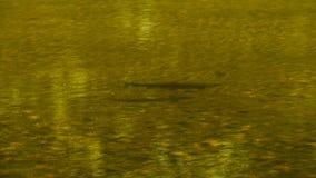 Stor simning för brun forell lager videofilmer