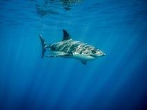 Stor simning för vit haj i det blåa havet under solen rays royaltyfria foton