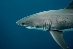 Stor simning för vit haj i djupen av Stilla havet royaltyfri bild