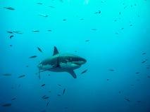 Stor simning för vit haj under solen rays bland små fiskar Royaltyfri Foto
