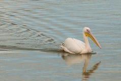 Stor simning för vit pelikan i ett damm Arkivfoto