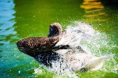 Stor simning f?r vit pelikan p? sj?- och f?rgst?nkvatten royaltyfri bild