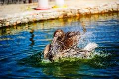 Stor simning f?r vit pelikan p? sj?- och f?rgst?nkvatten royaltyfria foton