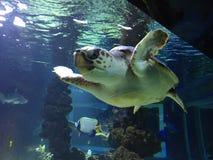 Stor sköldpadda 3 Arkivfoton