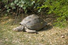 stor sköldpadda Arkivbilder