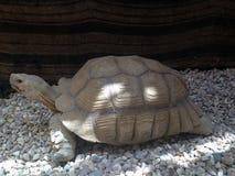 Stor sköldpadda Arkivfoton