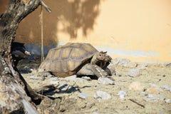 Stor sköldpadda Arkivfoto