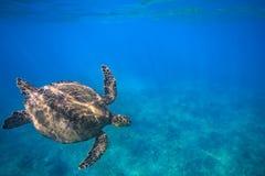 Stor sköldpadda i undervattens- skott för korallrev arkivbild