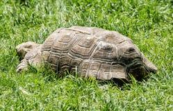 Stor sköldpadda som matar i det gröna gräset, djur plats Arkivfoto