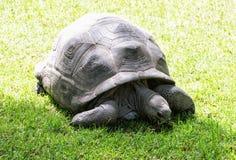 Stor sköldpadda som matar i det gröna gräset, skönhet i natur Royaltyfri Bild