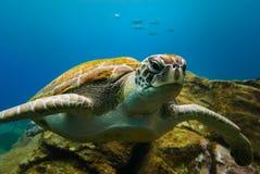 Stor sköldpadda som svävar i det djupblå havvattnet arkivfoton