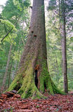 stor skogtree Royaltyfri Foto