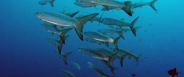 Stor skola av sparrebarracudafisken arkivfilmer