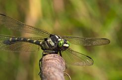 Stor slända med gröna ögon Royaltyfri Fotografi