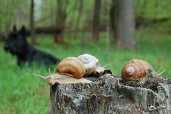 stor snail arkivbild