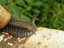 stor snail arkivfoto