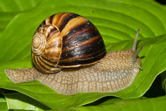 stor snail Fotografering för Bildbyråer