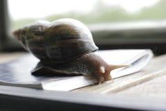 stor snail Arkivbilder