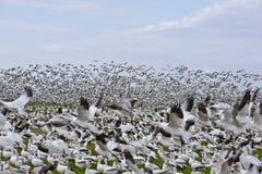 stor snow för flockgäss Arkivfoto
