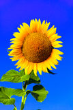 stor solros Royaltyfri Foto