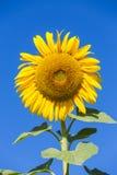 stor solros arkivbild