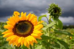 Stor solros i en trädgård Arkivbild
