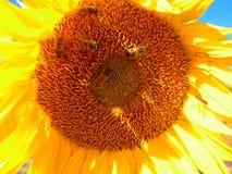 Stor solros med bin Arkivbilder