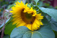 Stor solrosbenägenhet på ett blad Arkivbild