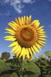 Stor solrosblomma med biet Royaltyfri Foto