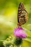 Stor Spangled Fritillaryfjäril på tistelblomman Arkivbilder