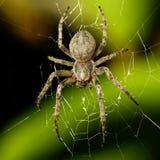 Stor spindel Arkivfoto