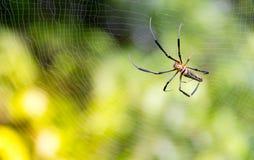 stor spindel för natur, lös spindel med oskarp bakgrund, rengöringsduk Royaltyfri Bild
