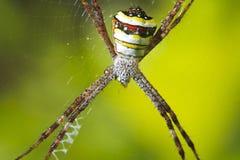 Stor spindel i dess rengöringsduk Arkivbild
