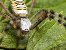Stor spindel med blåtiror Arkivbilder