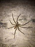 Stor spindel på det konkreta golvet på natten det är åtta lade benen på ryggen rov- arkivbild