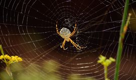 Stor spindel på spindelnätet arkivbild