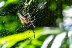 Stor spindel som äter felet på it'srengöringsduk Läskig naturlig rovdjur i W Royaltyfri Fotografi